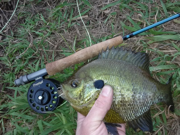 Phoenix Lake Bluegill
