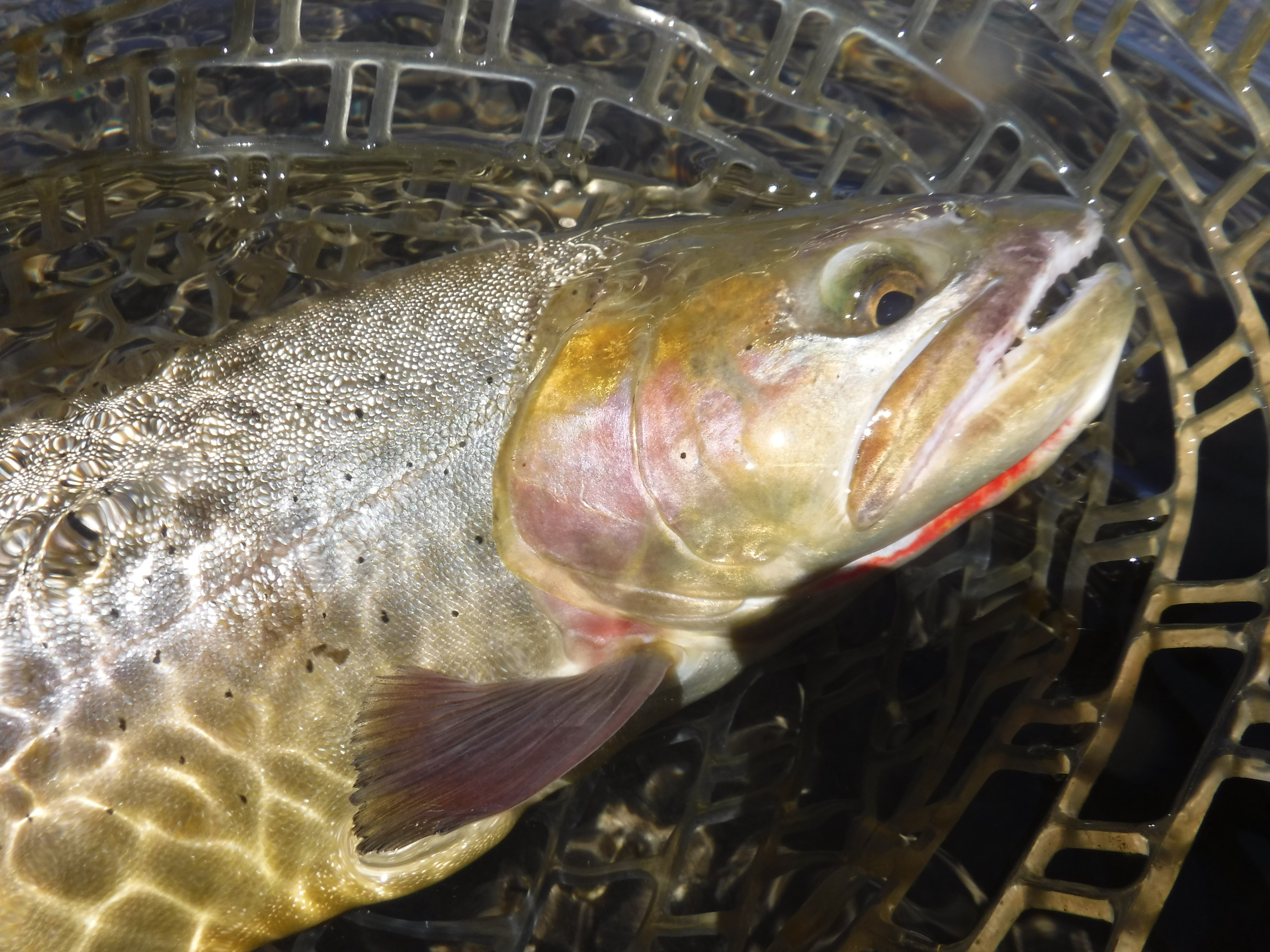 Flat Creek Cutthroat Trout
